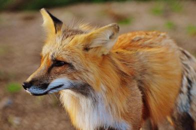 Akcja szczepienia lisów wolno żyjących