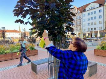 Ekipy zieleniarskie zadbały o drzewa na bytomskim Rynku